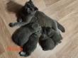 Продам Шотландських котиків, прямовухі та весловухі котенята
