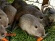 КУПЛЮ ЖИВОЮ ВАГОЮ кроликів і нутрій