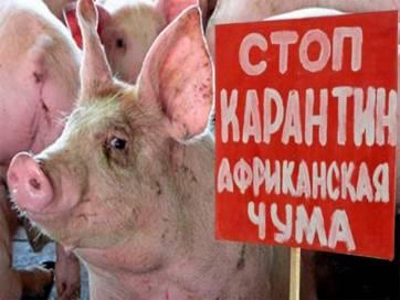 В Бердичеві зафіксовано вірус африканської чуми: в місті – карантин, продаж м'яса заборонений